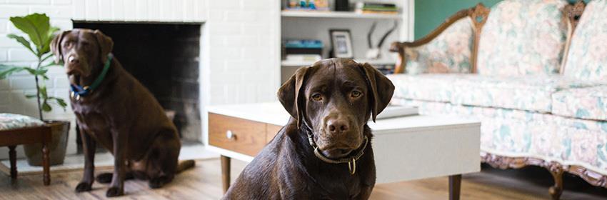3 raças de cachorro para viver em apartamento